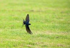 Hirondelle de grange, Boerenzwaluw, rustica de Hirundo photo libre de droits