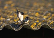 Hirondelle de grange, Boerenzwaluw, rustica de Hirundo image libre de droits