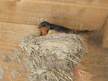 Hirondelle de grange se reposant sur le nid de boue Photographie stock libre de droits