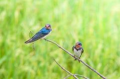 hirondelle Fil-coupée la queue, petit oiseau sur la feuille supérieure rice.rice classé Image libre de droits