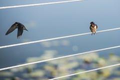 Hirondelle sur un fil regardant autre partir. photographie stock libre de droits