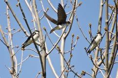 Hirondelles d'arbre débarquant dans un arbre Image libre de droits
