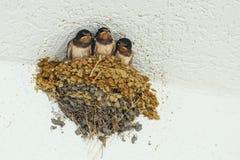 Hirondelles dans le nid Photos stock