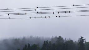 Hirondelles se reposant sur les fils électriques photographie stock libre de droits