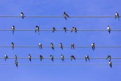 Hirondelles sur le fil Photographie stock libre de droits