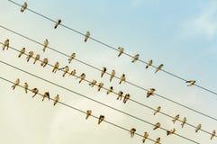 Hirondelles sur un fil - ligne électrique - dans le soleil de soirée Image stock