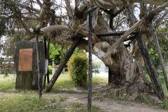 Hiroszima Japonia, Maj, - 25, 2017: Szpotawy Eukaliptusowy drzewo przy Cześć Zdjęcia Stock