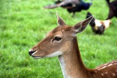 Hirsch auf dem Gebiet Stockfotos
