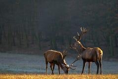 Hirsch der roten Rotwild Stockfotografie