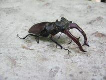 Hirsch-Käfer, ein feines Exemplar auf einem grauen Hintergrund Stockfoto