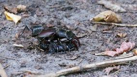 Hirsch-Käfer-Rotwild drückt einen zerquetschten toten Käfer entlang dem Boden stock video