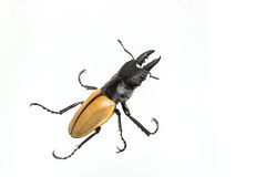 Hirsch-Käfer u. x28; Odontolabis-mouhoti u. x29; Mann lizenzfreies stockbild