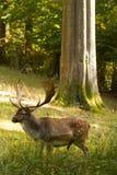 Hirsch. Unter einen Baum im Wald Royalty Free Stock Photo