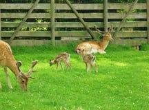Hirschfamilie Stockfoto