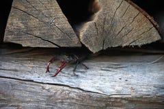 Hirschkäfer, kriechend aus seinem Versteck heraus Stockfoto