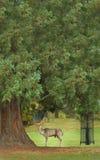 Hirschrotwild, Burghley Zustand, Stamford, England Stockfotos