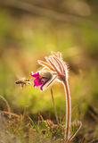 Hirsutissima de la anémona de la flor de la primavera Fotos de archivo