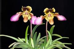 Hirsutissimum del Paphiopedilum   (Lindl. ex gancio.) Stein, ORCHIDACE Immagine Stock