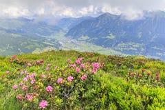 Hirsutum peloso del rododendro del alpenrose Fotografia Stock