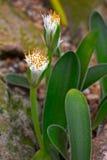 Hirsutus de sous-espèce de humilis de Haemanthus, fleurissant images stock