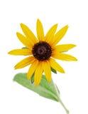 Hirta amarillo del rudbeckia de la flor aislado en blanco Imagen de archivo