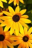 Hirta curativo del Rudbeckia de la flor imagen de archivo