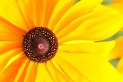 Hirta de Rudbeckia Photo stock