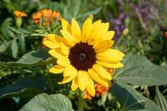 Hirta de Rudbeckia Grand plan rapproché de la fleur une photo libre de droits