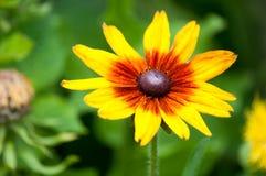 Hirta del Rudbeckia, comúnmente llamado Susan negro-observada en un prado verde en el medio de verano caliente fotos de archivo