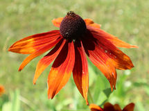 Hirta del Rudbeckia y x27; Summerina Orange& x27; flor roja y anaranjada Fotos de archivo