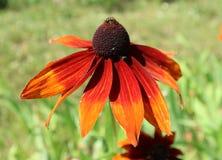 Hirta del Rudbeckia y x27; Summerina Orange& x27; flor roja y anaranjada Foto de archivo libre de regalías