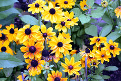 Hirta do Rudbeckia Imagem de Stock Royalty Free