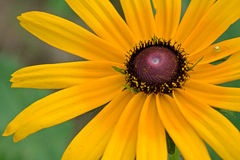 Hirta et araignée de Rudbeckia Photographie stock libre de droits