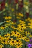 Hirta Rudbeckia, черно-наблюданное Сьюзан Стоковые Фотографии RF