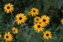 Hirta van bloemenrudbeckia of zwart-eyed Susan in de groene tuin stock fotografie