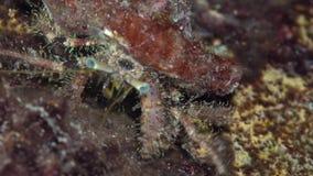 Hirtimanus melenudo del Pagurus del cangrejo de ermitaño en el coral del Mar Rojo Sudán Shaab Rumi almacen de video
