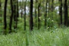 Hirundinaria blanco del Vincetoxicum del trago-mosto en la delantera frondosa Imagen de archivo