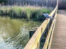Hirundo com?n de los esternones de la golondrina de mar encaramado en una cerca sobre el agua del lago con un pescado cogido en p imagen de archivo libre de regalías