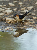 Hirundo daurica. Red-rumped Swallow, Hirundo daurica, near a pool collecting mud for the nest royalty free stock photo