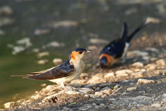 Hirundo daurica. Red-rumped Swallow, Hirundo daurica, near a pool collecting mud for the nest stock images
