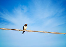 Hirundo rustico - swallow, migratory bird singing on wire, drama Stock Image
