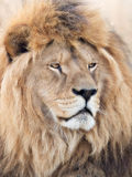 His majesty lion Royalty Free Stock Image