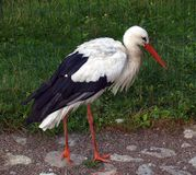 His Majesty Stork Stock Photography