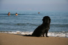 His master's voice. Dog sitting on the beach looking at his master taking a bath in the sea Stock Image
