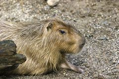 His name is Capybara Royalty Free Stock Images