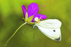 His victim. A small white spider caught his victim butterfly on a flower in the summer royalty free stock image