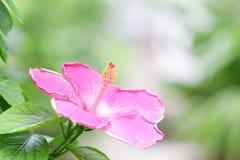 Hisbicus pollen Stock Photo