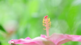 Hisbicus pollen Royalty Free Stock Photo