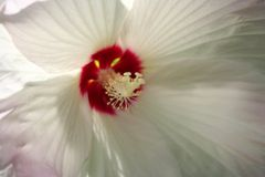 Hisbiscus blanco Imágenes de archivo libres de regalías