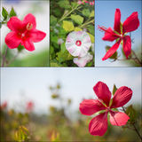 Hisbiscus flower collage Royalty Free Stock Image
